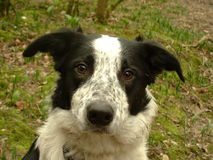 Collie Dog. Portrait shot of a black and white collie with facial markings of a badger Stock Images