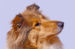 Collie dog Royalty Free Stock Image