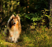 Collie Dog. A picture of a happy Collie running on a forest trail Stock Image