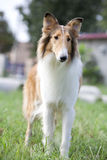 Collie dog. Portrait of a collie dog,outside Royalty Free Stock Image