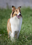 Collie dog. Portrait of a collie dog,outside Stock Photography