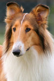 Collie dog. Portrait of a collie dog Royalty Free Stock Image