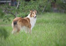 Collie dog. A collie dog look at something Royalty Free Stock Images