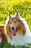 Collie dog Royalty Free Stock Photos