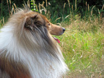 Collie dog. Beautiful Rough Collie dog taking a rest Royalty Free Stock Photography