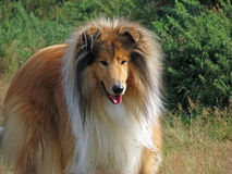 Collie dog. Beautiful Rough Collie enjoying a walk in the countryside Stock Photos