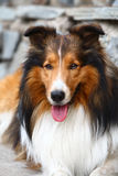 Collie dog. Portrait of a collie dog Stock Image