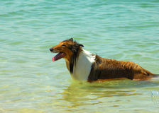 Collie Dog on Beach Royalty Free Stock Image