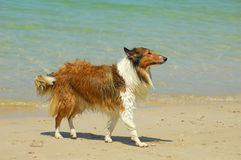 Collie Dog on Beach Stock Photography