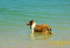 Collie Dog on Beach Royalty Free Stock Photos
