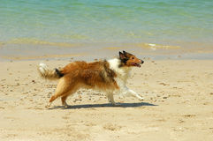 Collie Dog on Beach Stock Images