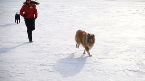 Collie dog and black labrador running with girl. Collie dog and black labrador running on snow field with girl, slow motion 250 fps stock footage