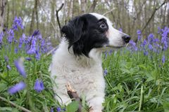 Collie dog in a bluebell field laying down Royalty Free Stock Photos