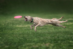 Collie dog catching frisbee Royalty Free Stock Images