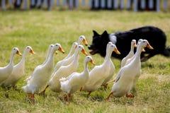 Collie Dog Chasing Ducks voor toont stock afbeeldingen