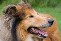 Collie dog close-up Stock Image