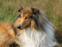 Collie dog close-up. Beautiful Rough Collie dog relaxing in a meadow Stock Image