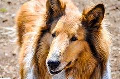 Collie Dog. A close up of a brown collie stock photos