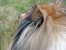 Collie dog details. Beautiful Rough Collie dog head in close-up details Royalty Free Stock Images