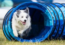 Collie Dog Exiting Agility Tunnel Royalty Free Stock Photography