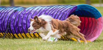 Collie Dog Exiting Agility Tunnel Royalty Free Stock Image