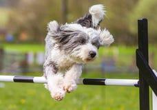 Collie Dog farpada que faz a agilidade Imagens de Stock