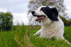Collie dog in a field laying down Stock Photos