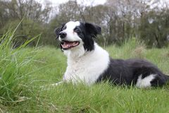 Collie dog in a field laying down Royalty Free Stock Image