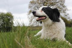 Collie dog in a field laying down Royalty Free Stock Photo