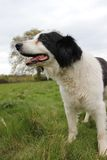 Collie dog in a field portrait Stock Image