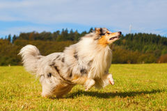 Collie dog with frisbee Stock Images