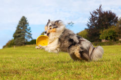 Collie dog with frisbee Royalty Free Stock Photos