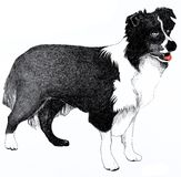 Collie dog illustration. Pen a nd ink illustration of a Collie Dog, isolated on a white background Royalty Free Stock Photo