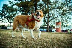 Collie Dog im Park am sonnigen Tag stockbild