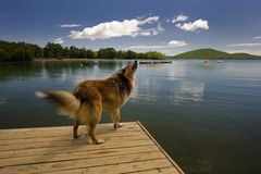 A Collie dog on a lake dock Royalty Free Stock Image