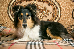 Collie dog laying on bed Stock Images