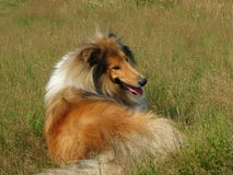 Collie dog laying in grass. Beautiful Rough Collie dog taking a rest Royalty Free Stock Image