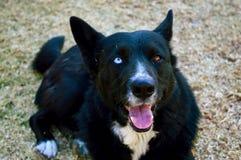 Collie Dog Looks Husky/alla macchina fotografica Fotografie Stock Libere da Diritti