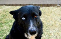 Collie Dog Looks Husky/alla macchina fotografica Fotografia Stock Libera da Diritti
