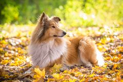 Collie dog lying down on autumn forest royalty free stock photography