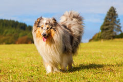 Collie dog on the meadow Royalty Free Stock Photos