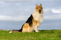 Collie on the lawn Royalty Free Stock Image