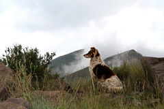 Collie dog in the misty Drakensberg mountains. Stock Image