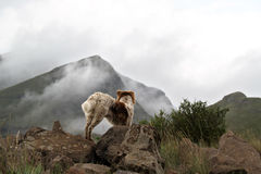 Collie dog in the misty Drakensberg mountains. Royalty Free Stock Photography