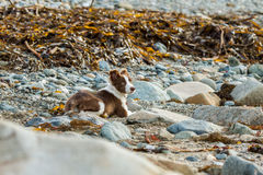 Collie dog. My collie dog lying on the beach amongst the sand and rocks royalty free stock images