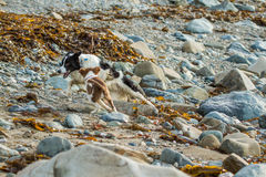 Collie dog. My collie dog playing on the beach amongst the sand and rocks royalty free stock photo