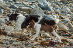 Collie dog. My collie dog playing on the beach amongst the sand and rocks royalty free stock images