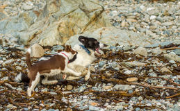 Collie dog. My collie dog playing on the beach amongst the sand and rocks royalty free stock image