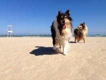 Collie Dog på stranden Arkivbild