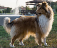 Collie dog in park. Starring aside in the afternoon Royalty Free Stock Image